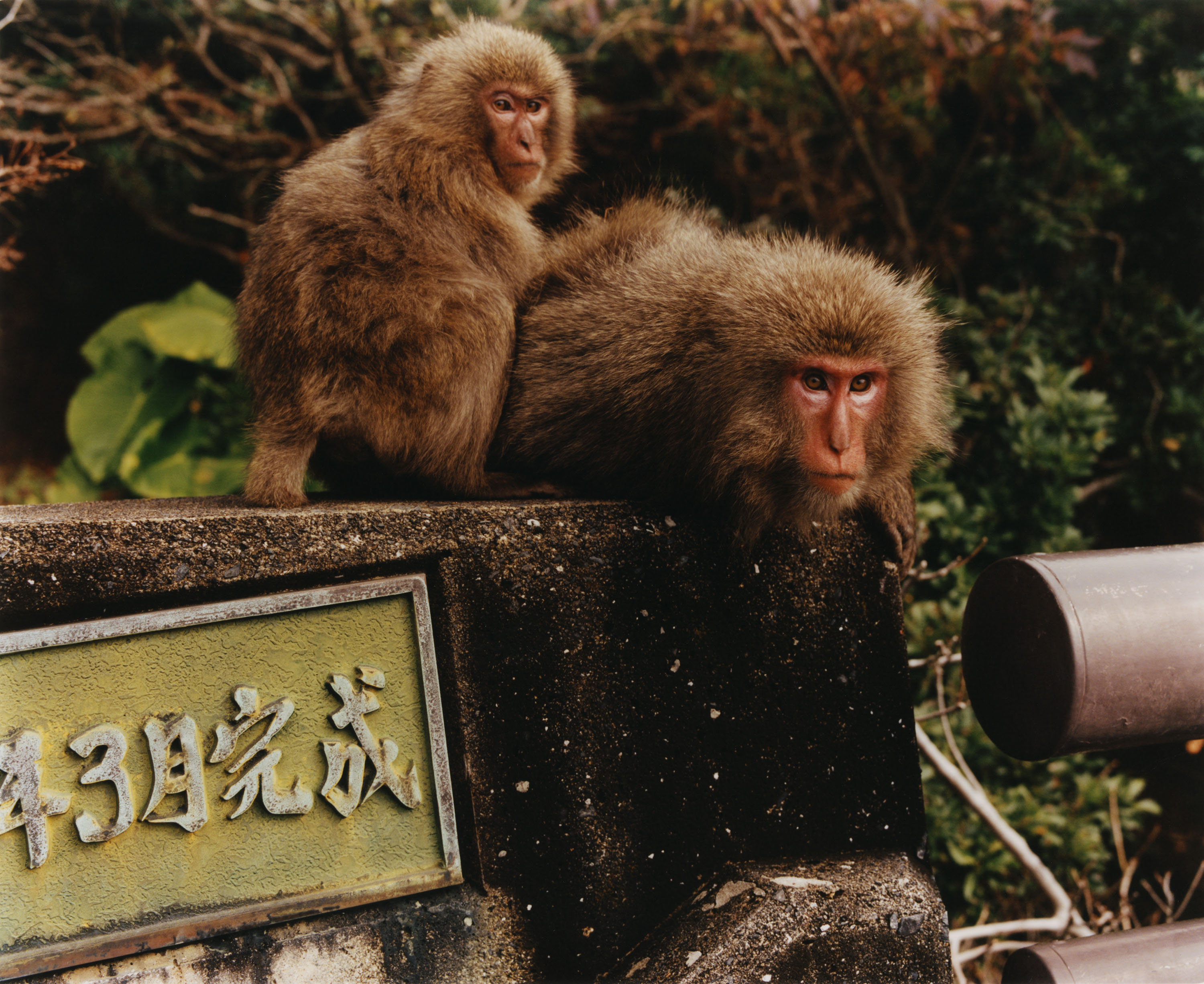 """Back in January 2020, I spent two weeks in Japan following researchers and students engaged in the study of what some would call the """"cultural behaviours"""" of Japanese macaques in three distinct regions of Japan. Their research focuses on the notion that those monkeys could transmit ritual-likes habits from one generation to another, from bathing in hot springs in the touristic park of Jigokudani, to washing sweet potatoes on the isolated island of Ko-Jima, to riding deers on the island of Yakushima. *{Article written by Ben Crair. Photo assistant : Emil Kosuge. Special thanks to Natasha Lunn}* - © Maciek Pożoga"""